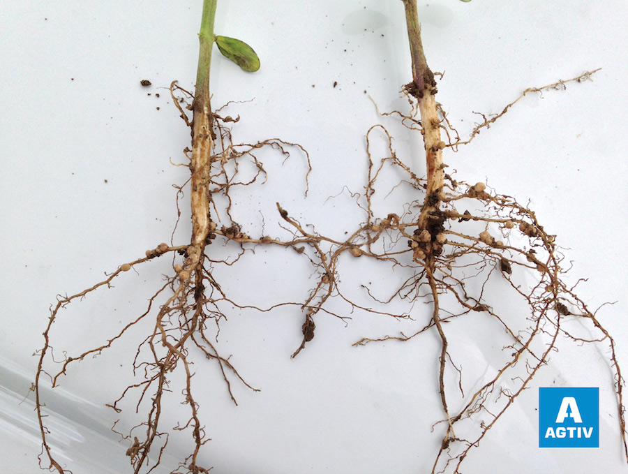 Soya roots with nodules